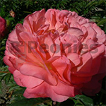 http://peonyshowgarden.com/wp-content/uploads/2017/07/Pioenroos-Coral-Sunset.jpg
