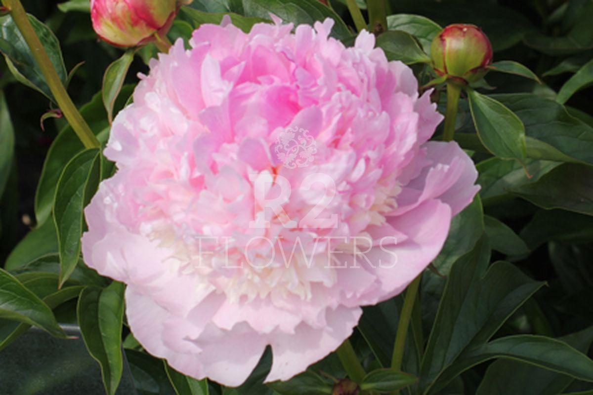 https://peonyshowgarden.com/wp-content/uploads/2020/03/Paeonia-Angel-Cheeks-.jpg