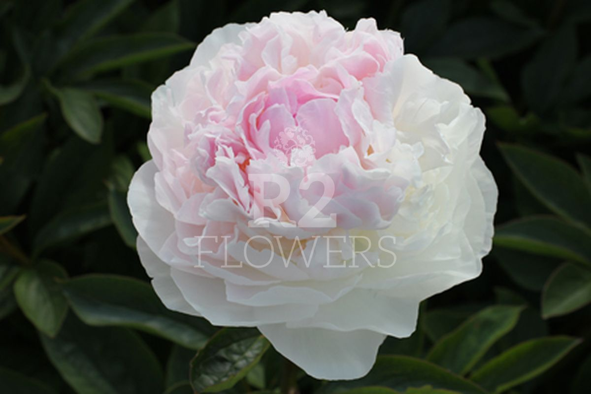 https://peonyshowgarden.com/wp-content/uploads/2020/03/Paeonia-Blush-Queen-.jpg
