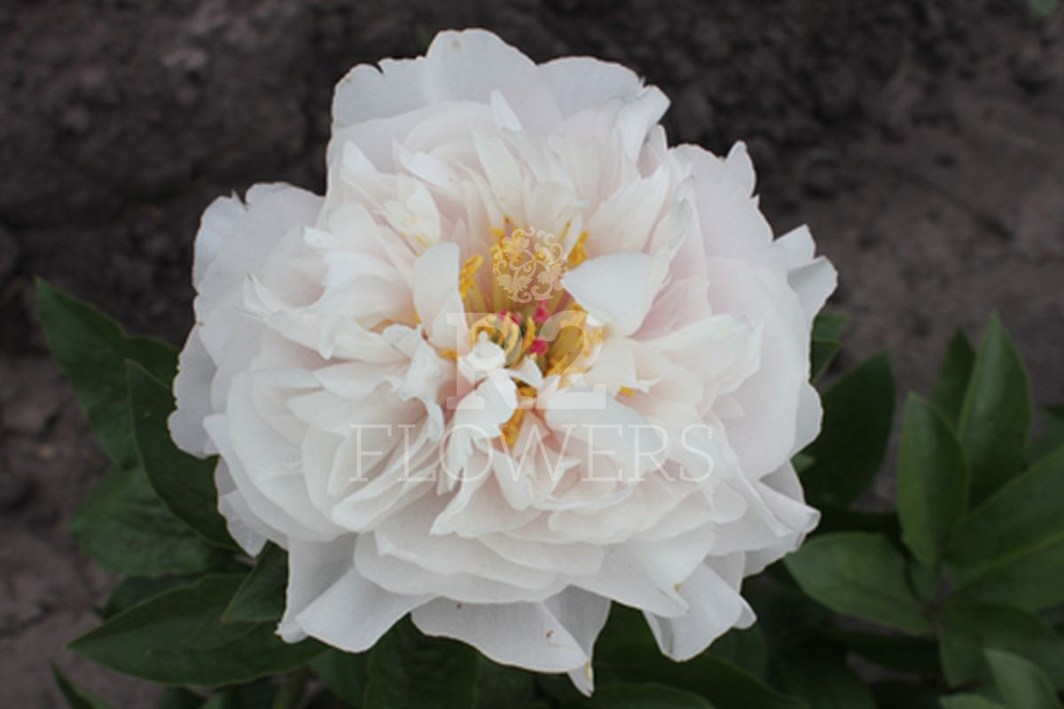 https://peonyshowgarden.com/wp-content/uploads/2020/03/Paeonia-Blushing-Princess.jpg