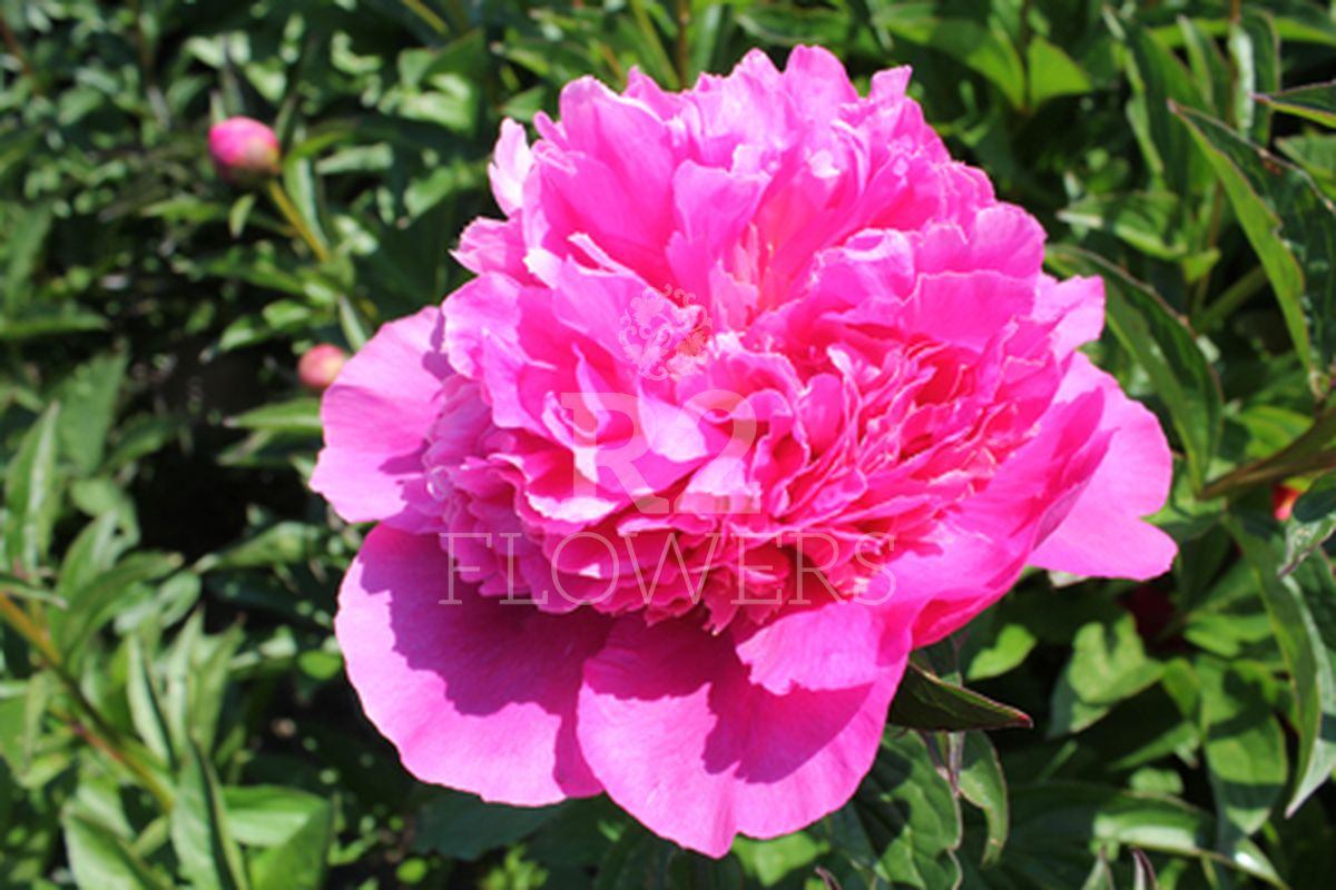 https://peonyshowgarden.com/wp-content/uploads/2020/03/Paeonia-Bouquet-Perfect-.jpg