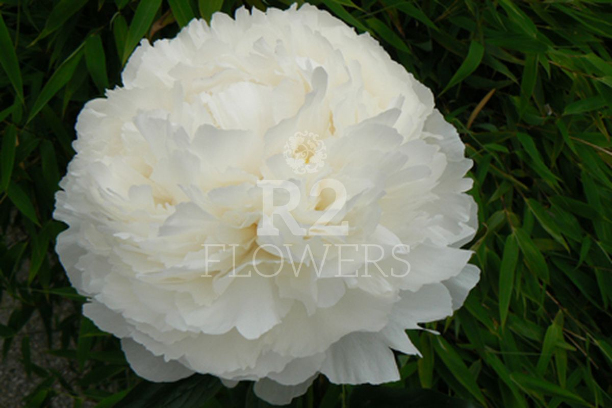 https://peonyshowgarden.com/wp-content/uploads/2020/03/Paeonia-Bowl-of-Cream-.jpg