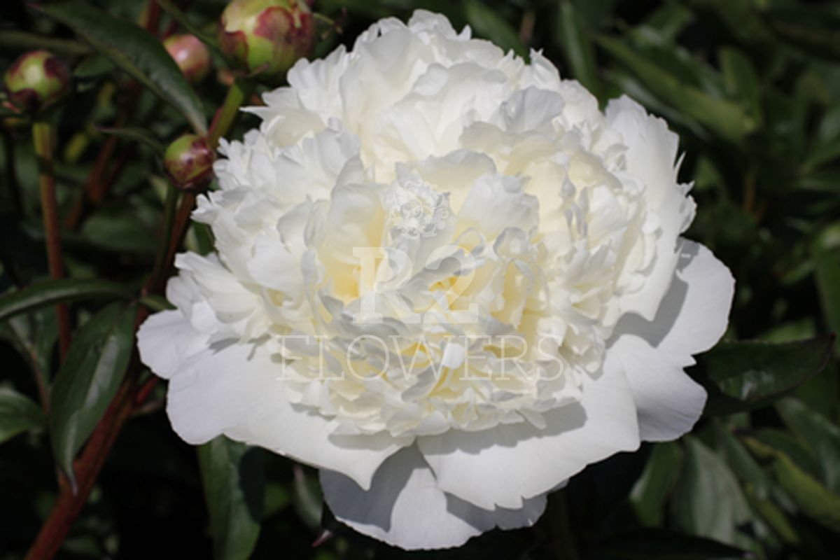 https://peonyshowgarden.com/wp-content/uploads/2020/03/Paeonia-Bridal-Gown-.jpg