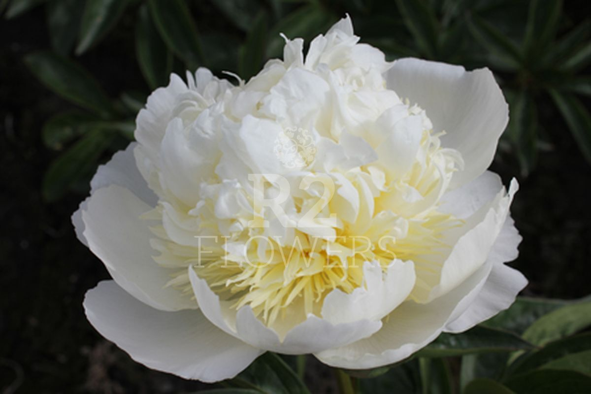 https://peonyshowgarden.com/wp-content/uploads/2020/03/Paeonia-Bridal-Icing-.jpg