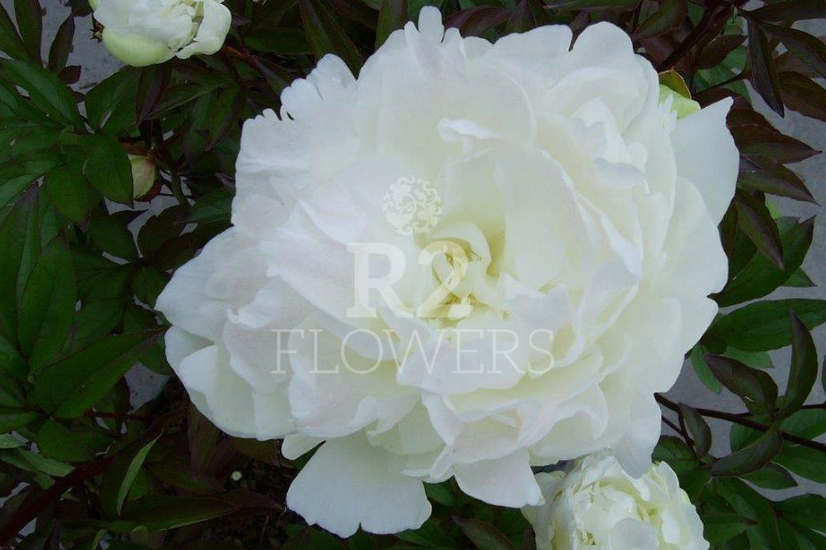 https://peonyshowgarden.com/wp-content/uploads/2020/03/Paeonia-Bright-White-.jpg