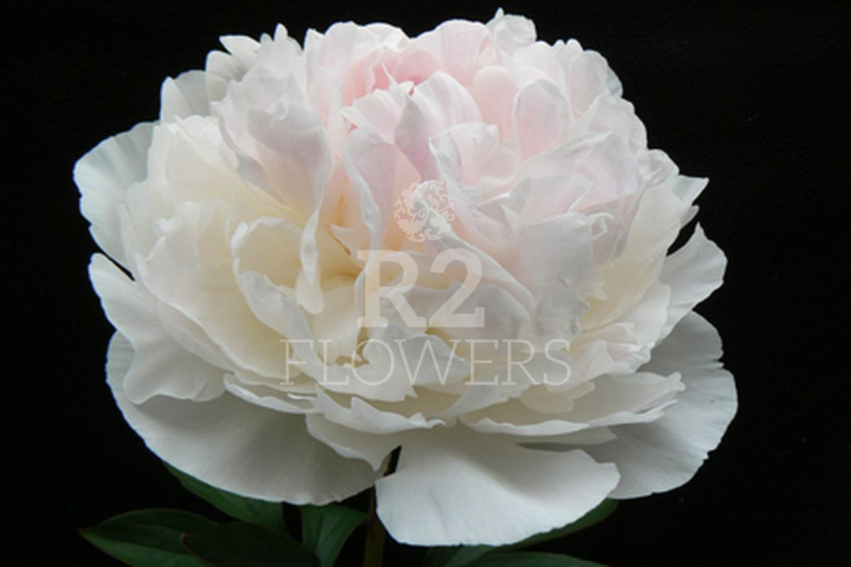 https://peonyshowgarden.com/wp-content/uploads/2020/03/Paeonia-Brother-Chuck-.jpg