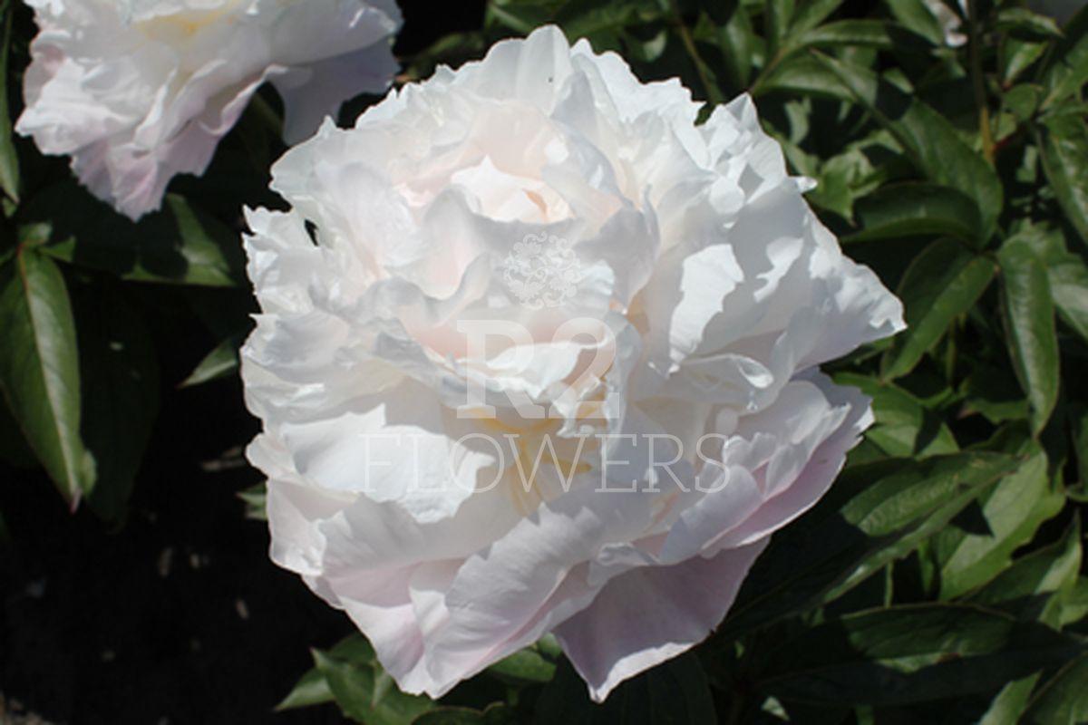 https://peonyshowgarden.com/wp-content/uploads/2020/03/Paeonia-Camellia-White-.jpg