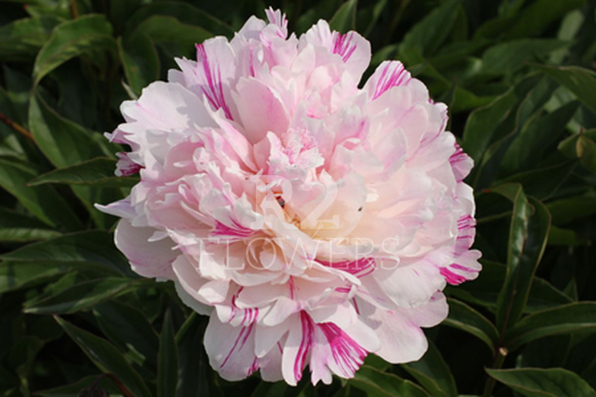 https://peonyshowgarden.com/wp-content/uploads/2020/03/Paeonia-Candy-Stripe-.jpg