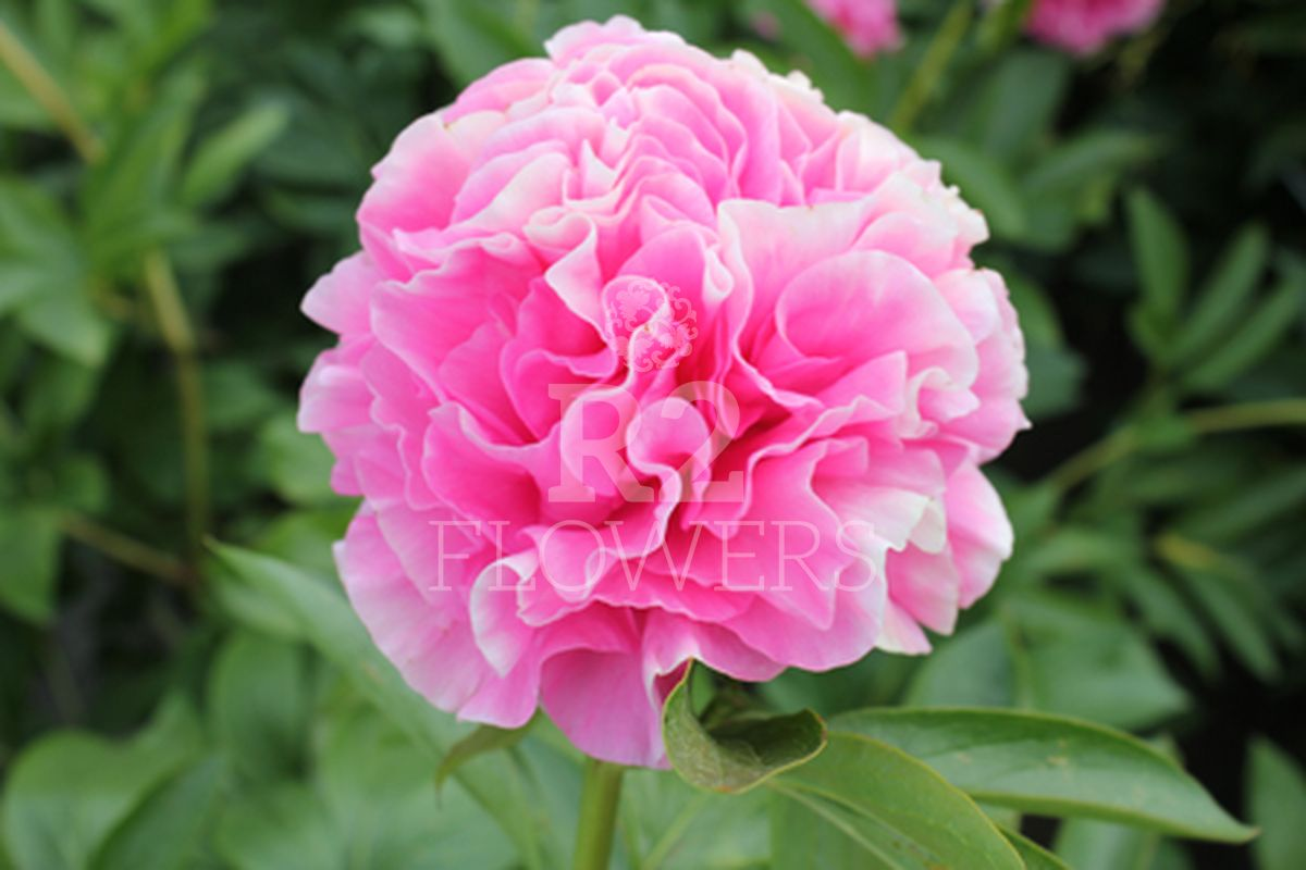 https://peonyshowgarden.com/wp-content/uploads/2020/03/Paeonia-Carnation-Bouquet-.jpg
