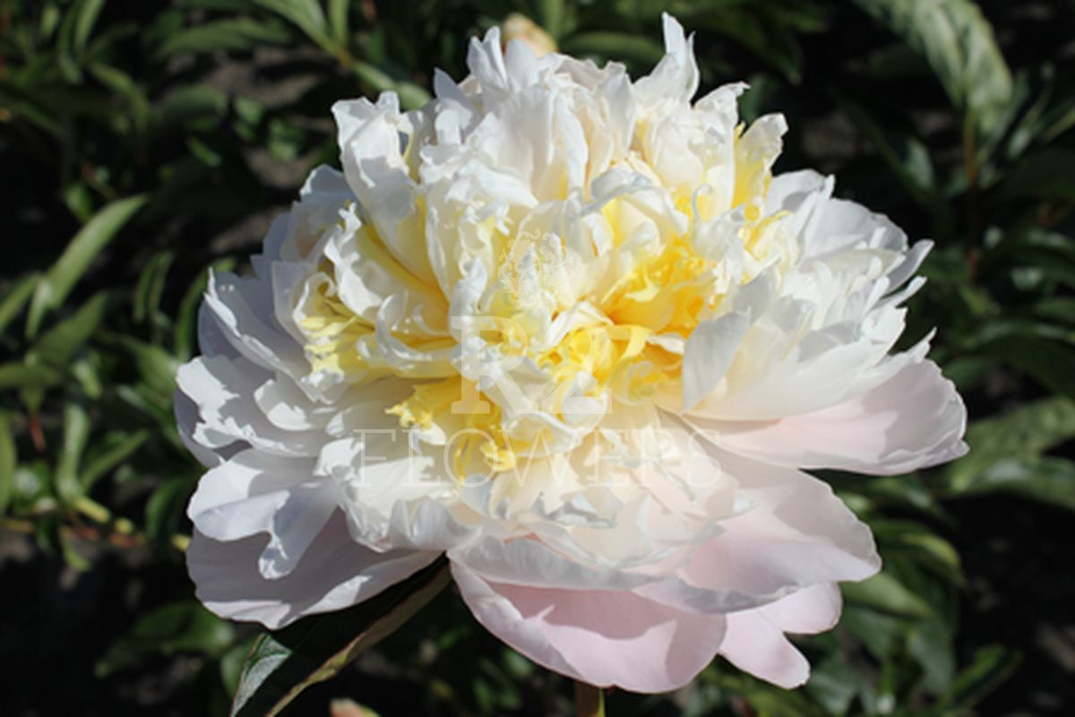 https://peonyshowgarden.com/wp-content/uploads/2020/03/Paeonia-Cheddar-Cheese-.jpg