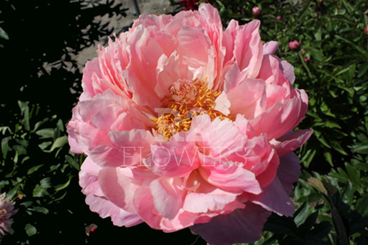 https://peonyshowgarden.com/wp-content/uploads/2020/03/Paeonia-Coral-Charm-.jpg