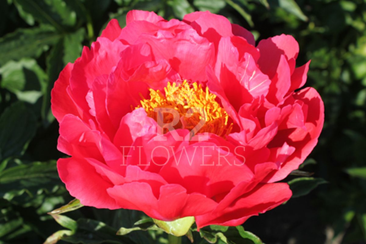 https://peonyshowgarden.com/wp-content/uploads/2020/03/Paeonia-Coral-Magic-.jpg