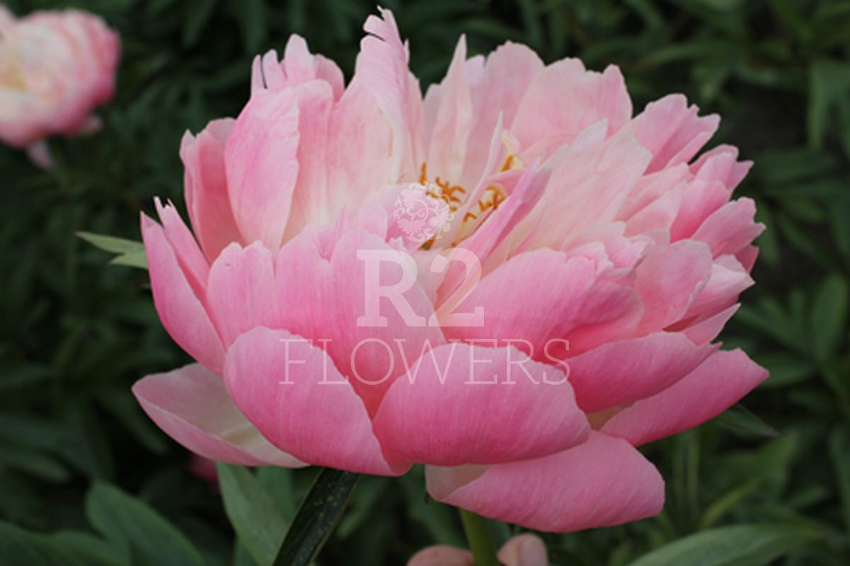 https://peonyshowgarden.com/wp-content/uploads/2020/03/Paeonia-Coral-Supreme-.jpg