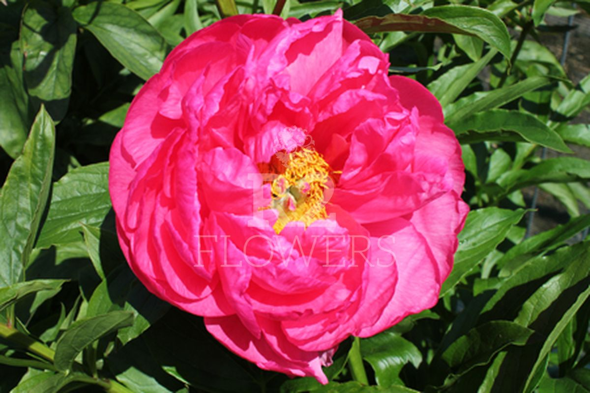 https://peonyshowgarden.com/wp-content/uploads/2020/03/Paeonia-Cytherea-.jpg
