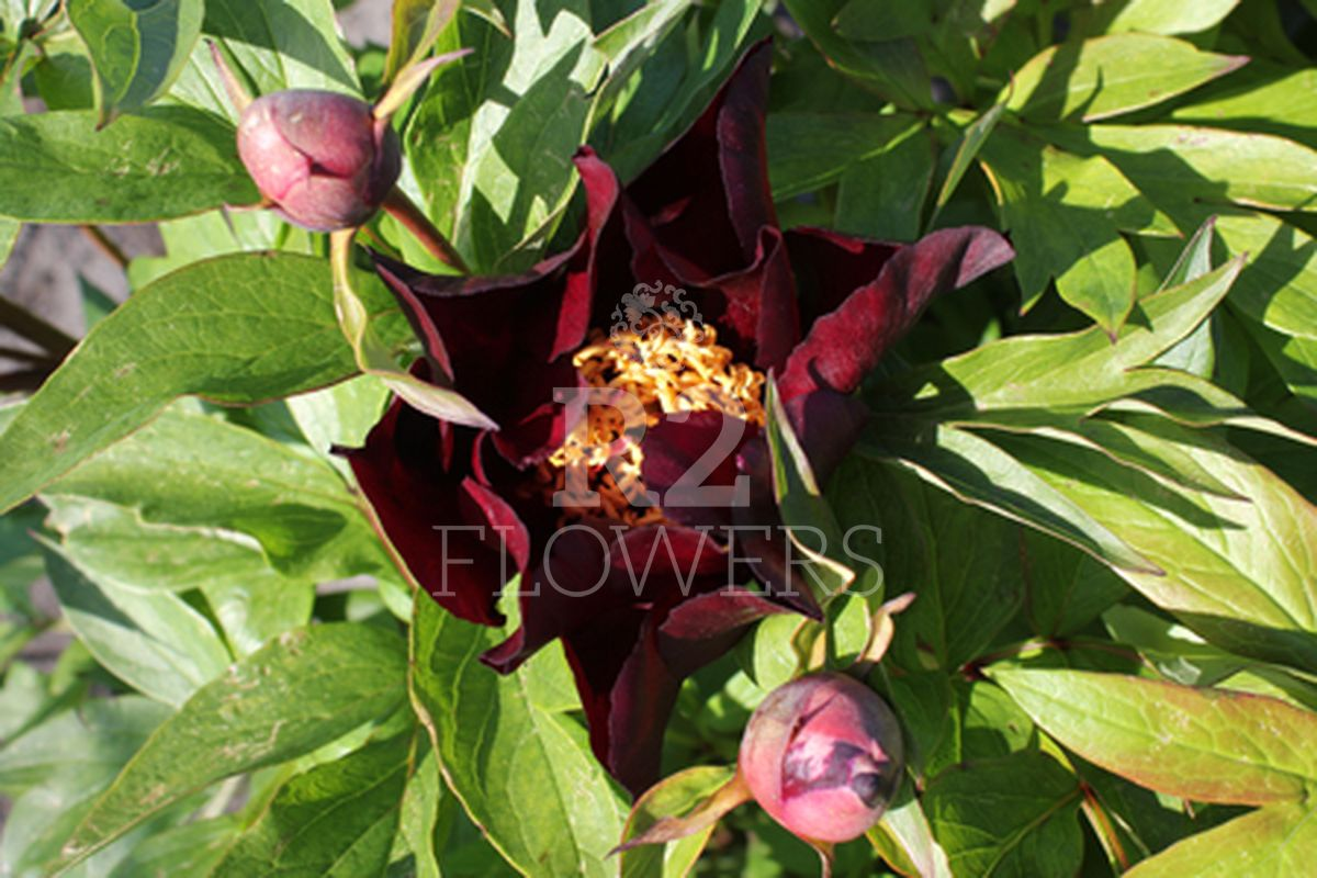 https://peonyshowgarden.com/wp-content/uploads/2020/03/Paeonia-Dark-Eyes-.jpg