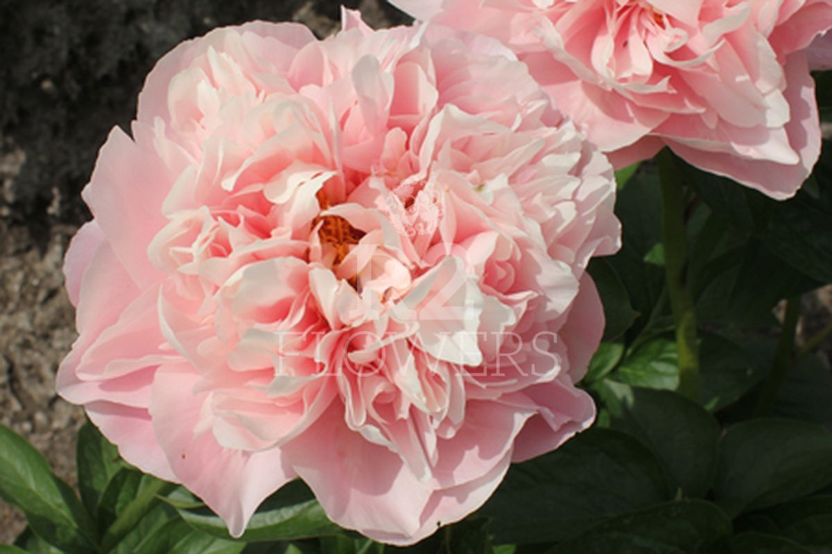 https://peonyshowgarden.com/wp-content/uploads/2020/03/Paeonia-Faithful-Dream-.jpg