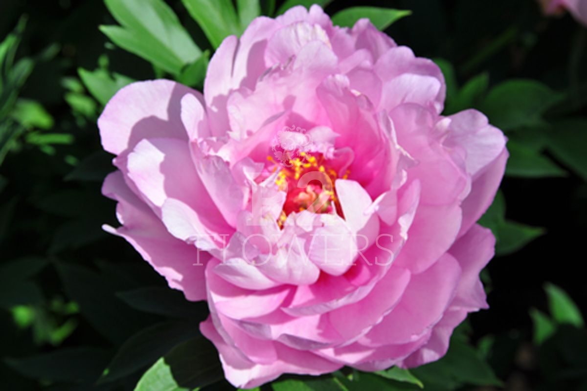 https://peonyshowgarden.com/wp-content/uploads/2020/03/Paeonia-First-Arrival-.jpg