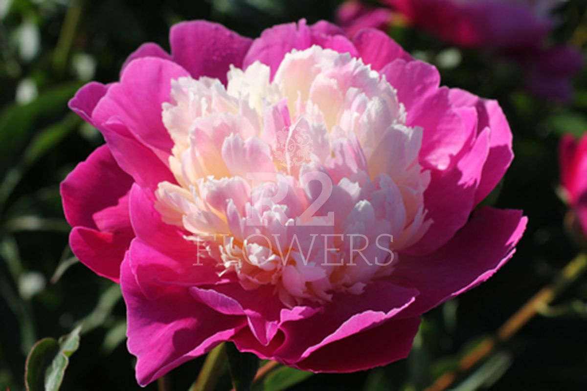 https://peonyshowgarden.com/wp-content/uploads/2020/03/Paeonia-Gay-Paree-.jpg