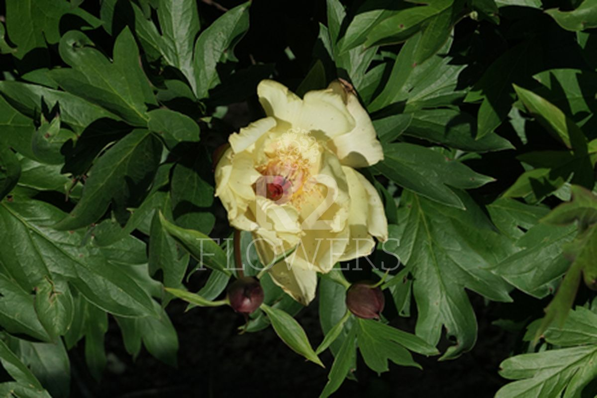 https://peonyshowgarden.com/wp-content/uploads/2020/03/Paeonia-Gentle-Flash-.jpg