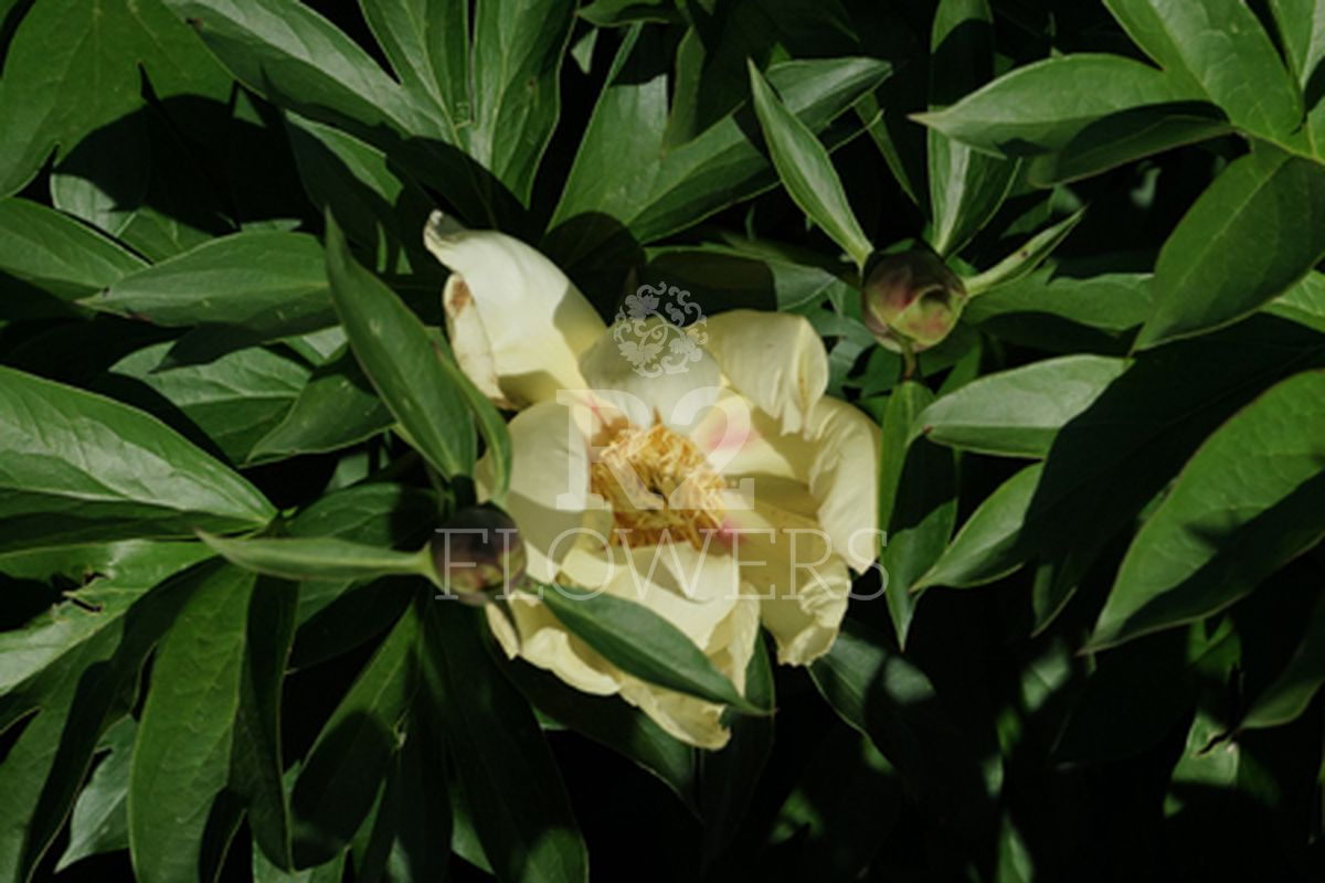 https://peonyshowgarden.com/wp-content/uploads/2020/03/Paeonia-Glowing-Flash-.jpg