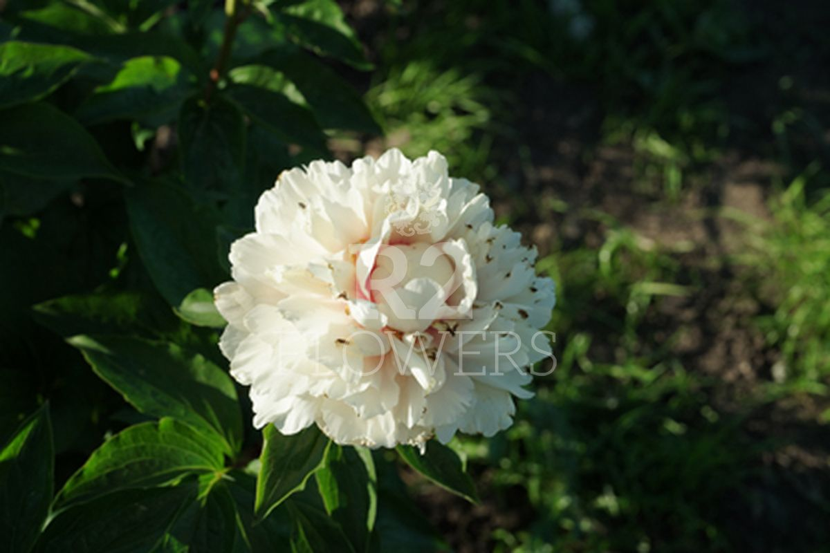 https://peonyshowgarden.com/wp-content/uploads/2020/03/Paeonia-Heavenly-Hint-.jpg