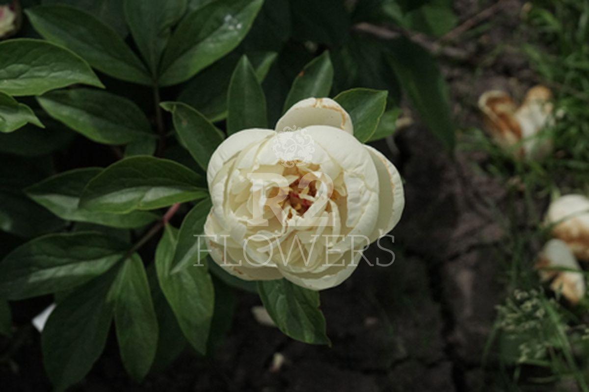 https://peonyshowgarden.com/wp-content/uploads/2020/03/Paeonia-Heavenly-Ivory-.jpg