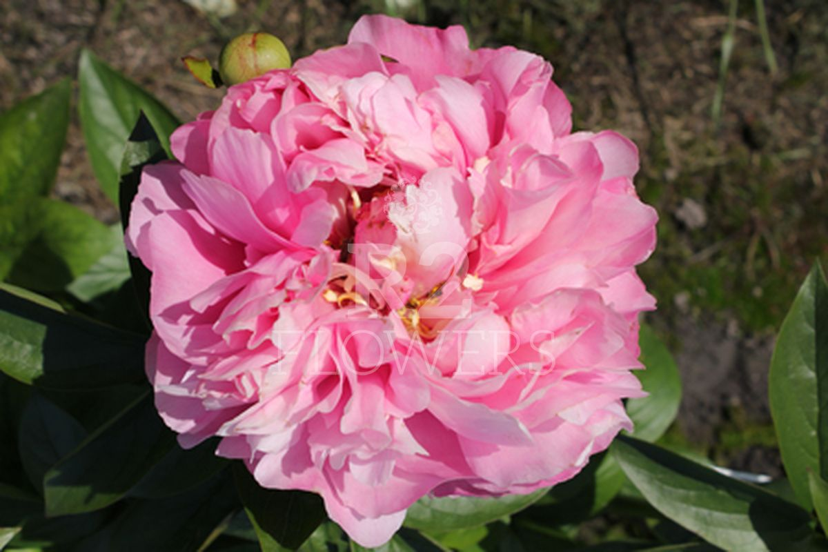 https://peonyshowgarden.com/wp-content/uploads/2020/03/Paeonia-Kathys-Touch-1-1.jpg