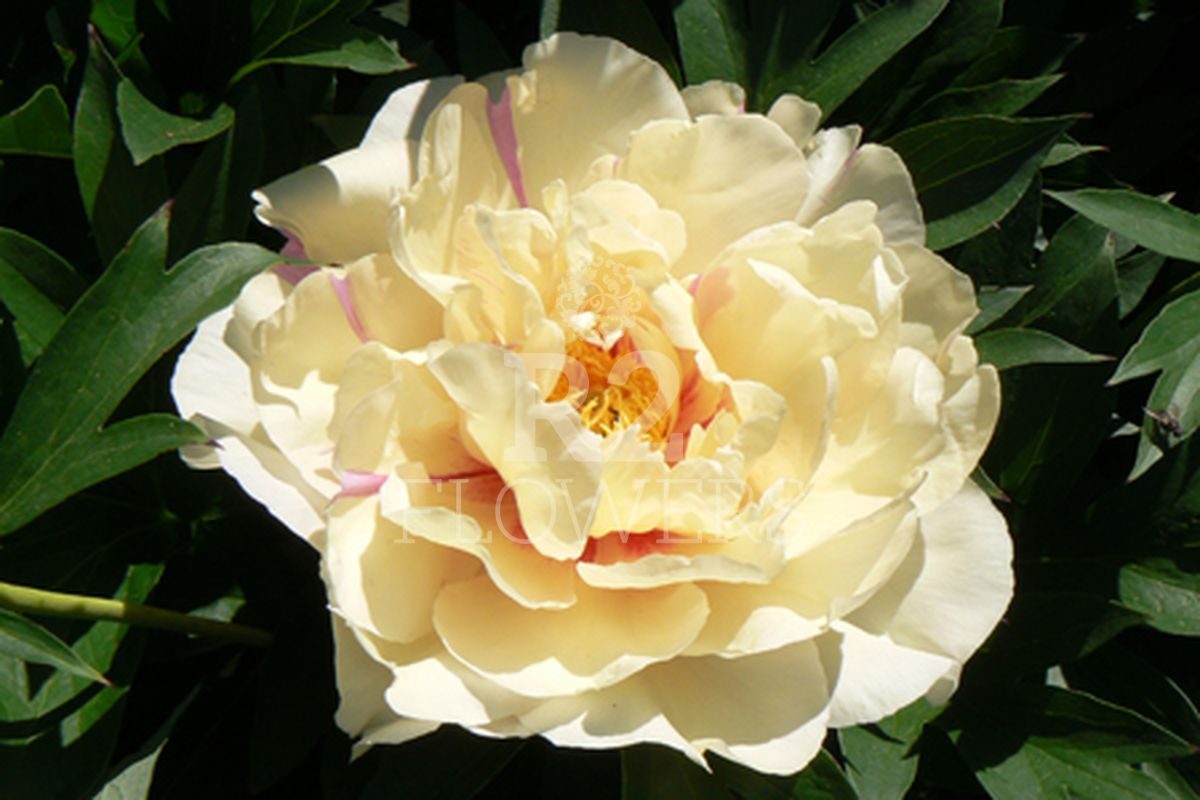 https://peonyshowgarden.com/wp-content/uploads/2020/03/Paeonia-Lemon-Dream-.jpg