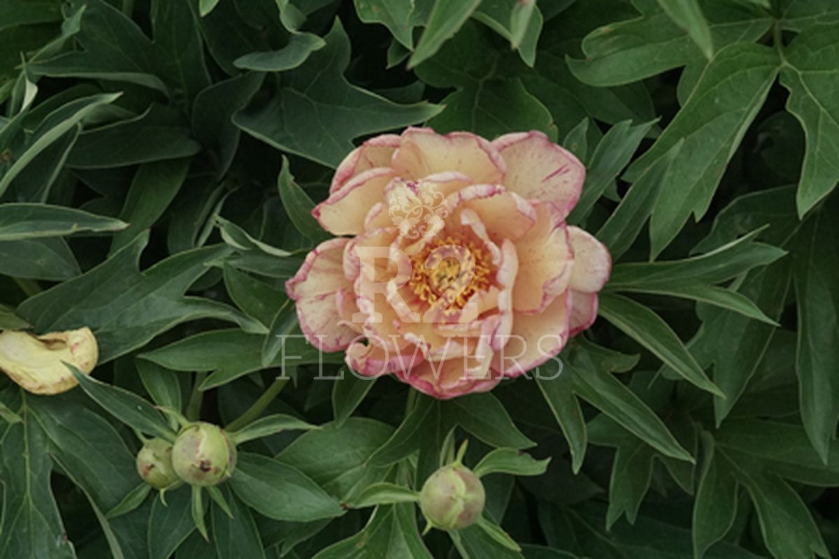 https://peonyshowgarden.com/wp-content/uploads/2020/03/Paeonia-Little-Edgy-.jpg
