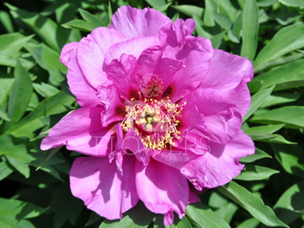 https://peonyshowgarden.com/wp-content/uploads/2020/03/Paeonia-Morning-Lilac-.jpg