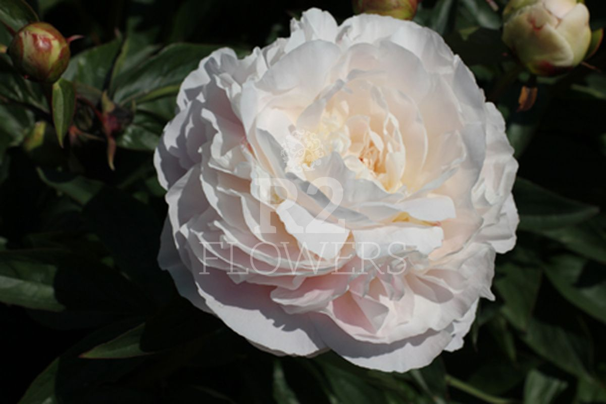 https://peonyshowgarden.com/wp-content/uploads/2020/03/Paeonia-Mothers-Choice-.jpg