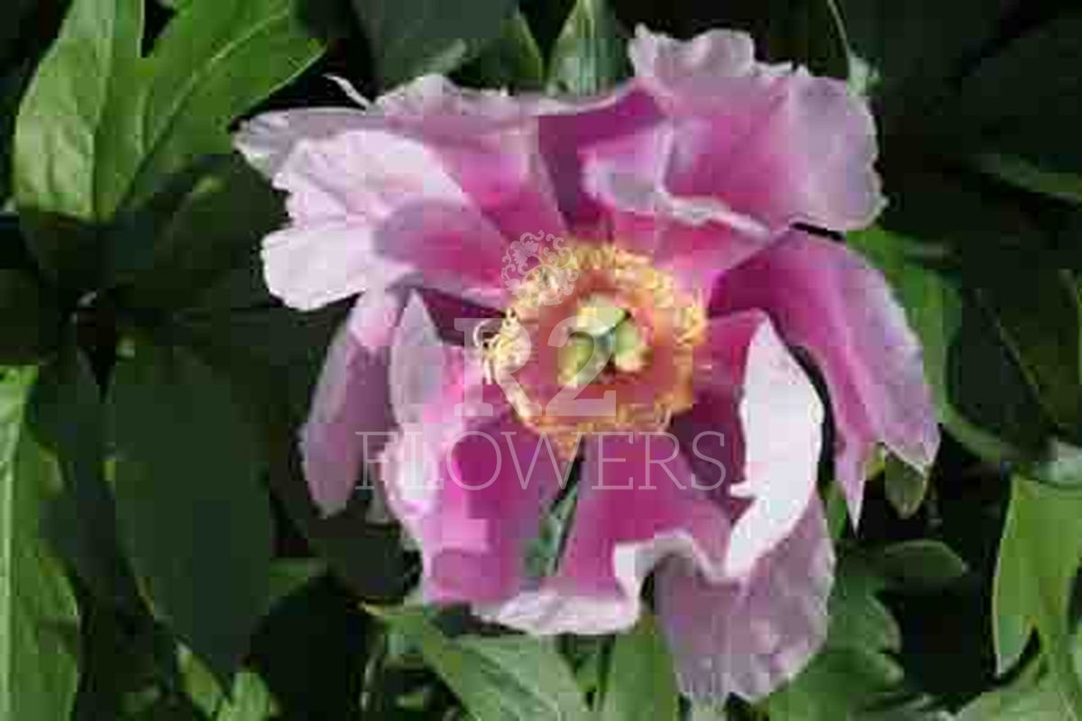 https://peonyshowgarden.com/wp-content/uploads/2020/03/Paeonia-Norwegian-Blush-.jpg