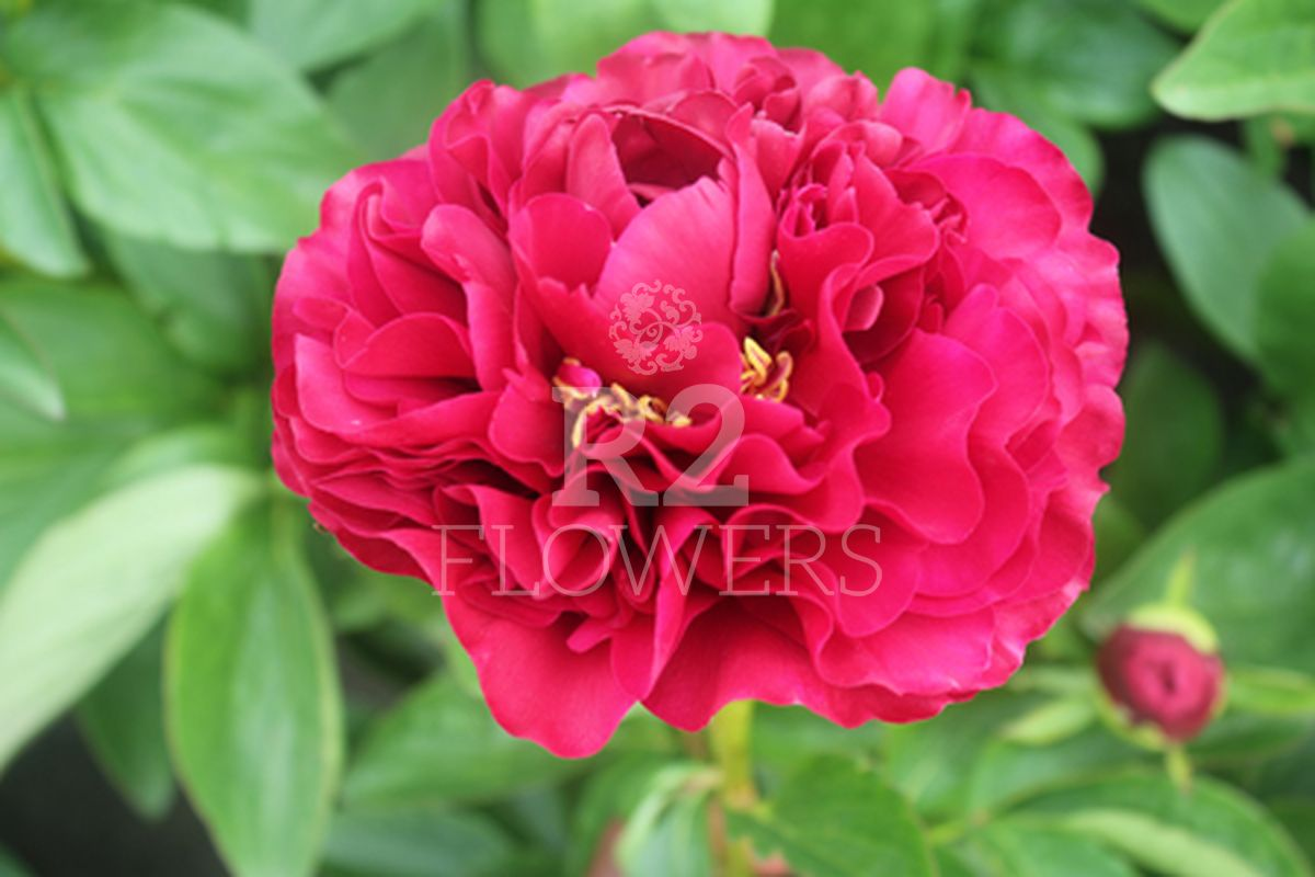 https://peonyshowgarden.com/wp-content/uploads/2020/03/Paeonia-Ole-Faithful-.jpg
