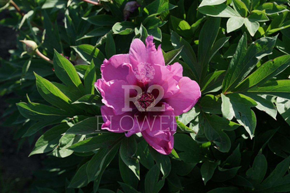 https://peonyshowgarden.com/wp-content/uploads/2020/03/Paeonia-Passion-Flash-.jpg