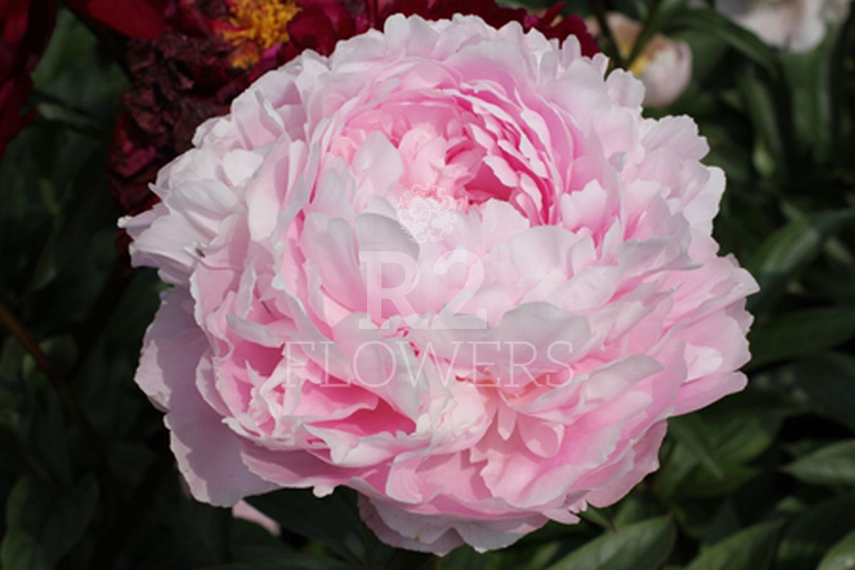 https://peonyshowgarden.com/wp-content/uploads/2020/03/Paeonia-Pillow-Talk-.jpg