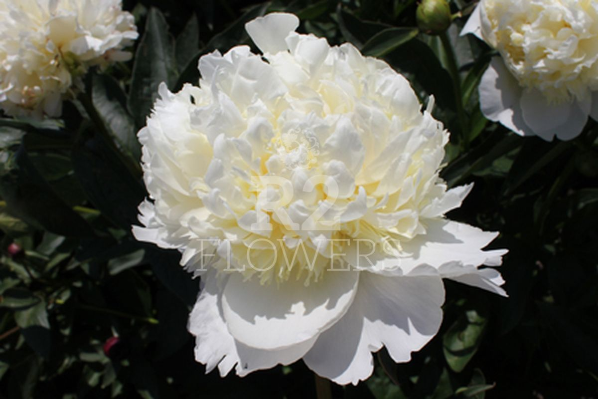 https://peonyshowgarden.com/wp-content/uploads/2020/03/Paeonia-Princess-Bride-.jpg