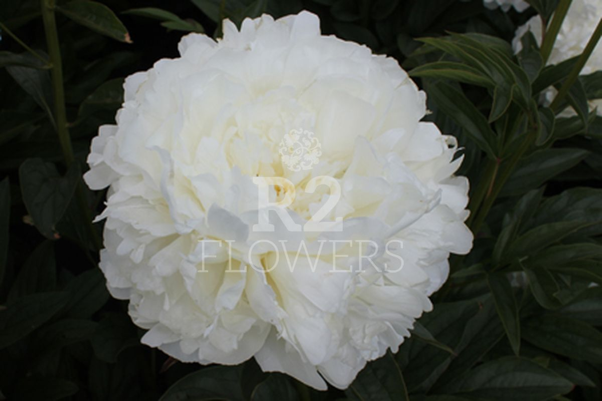 https://peonyshowgarden.com/wp-content/uploads/2020/03/Paeonia-Puffed-Cotton-.jpg