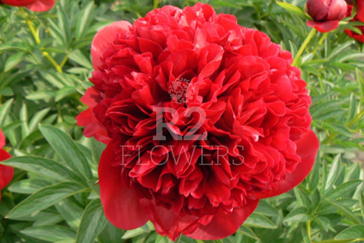 https://peonyshowgarden.com/wp-content/uploads/2020/03/Paeonia-Red-Grace-.jpg