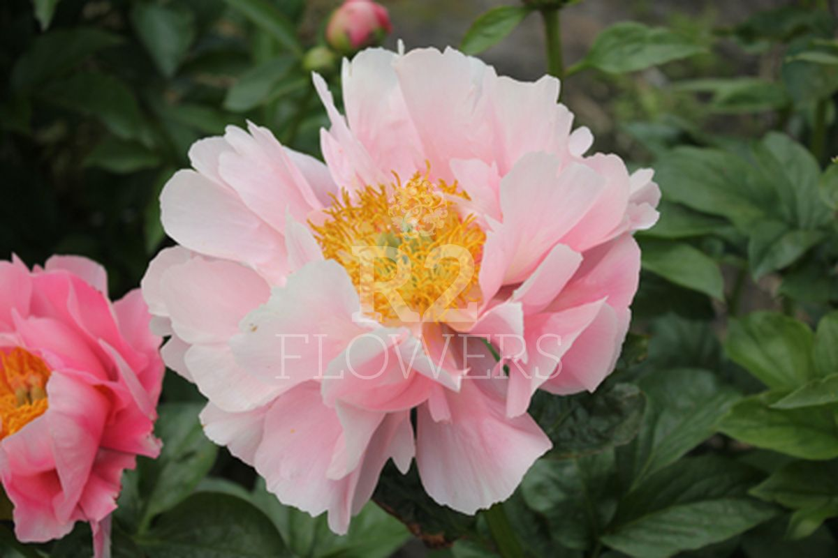 https://peonyshowgarden.com/wp-content/uploads/2020/03/Paeonia-Salmon-Dream-.jpg