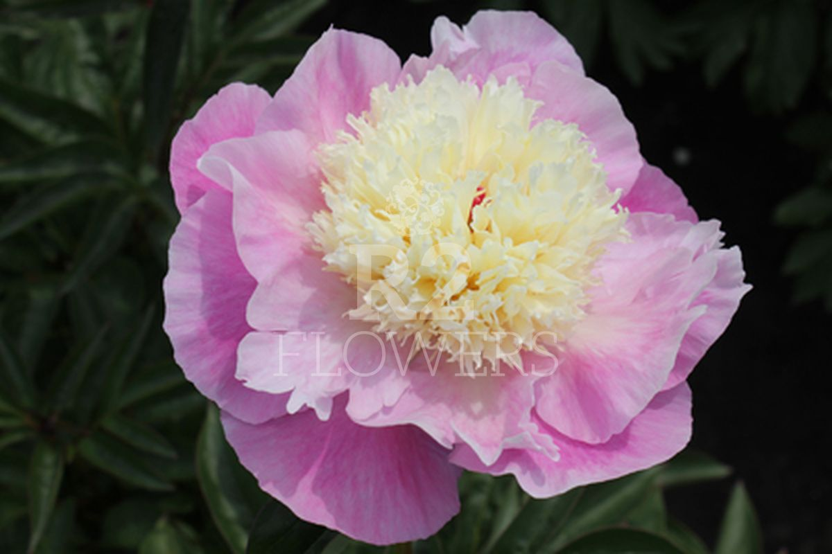 https://peonyshowgarden.com/wp-content/uploads/2020/03/Paeonia-Shes-my-Star-.jpg