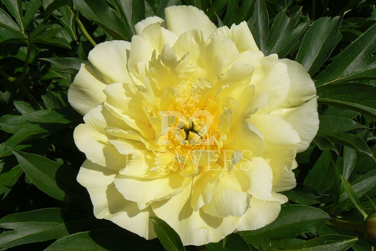 https://peonyshowgarden.com/wp-content/uploads/2020/03/Paeonia-Smith-Family-Yellow-.jpg