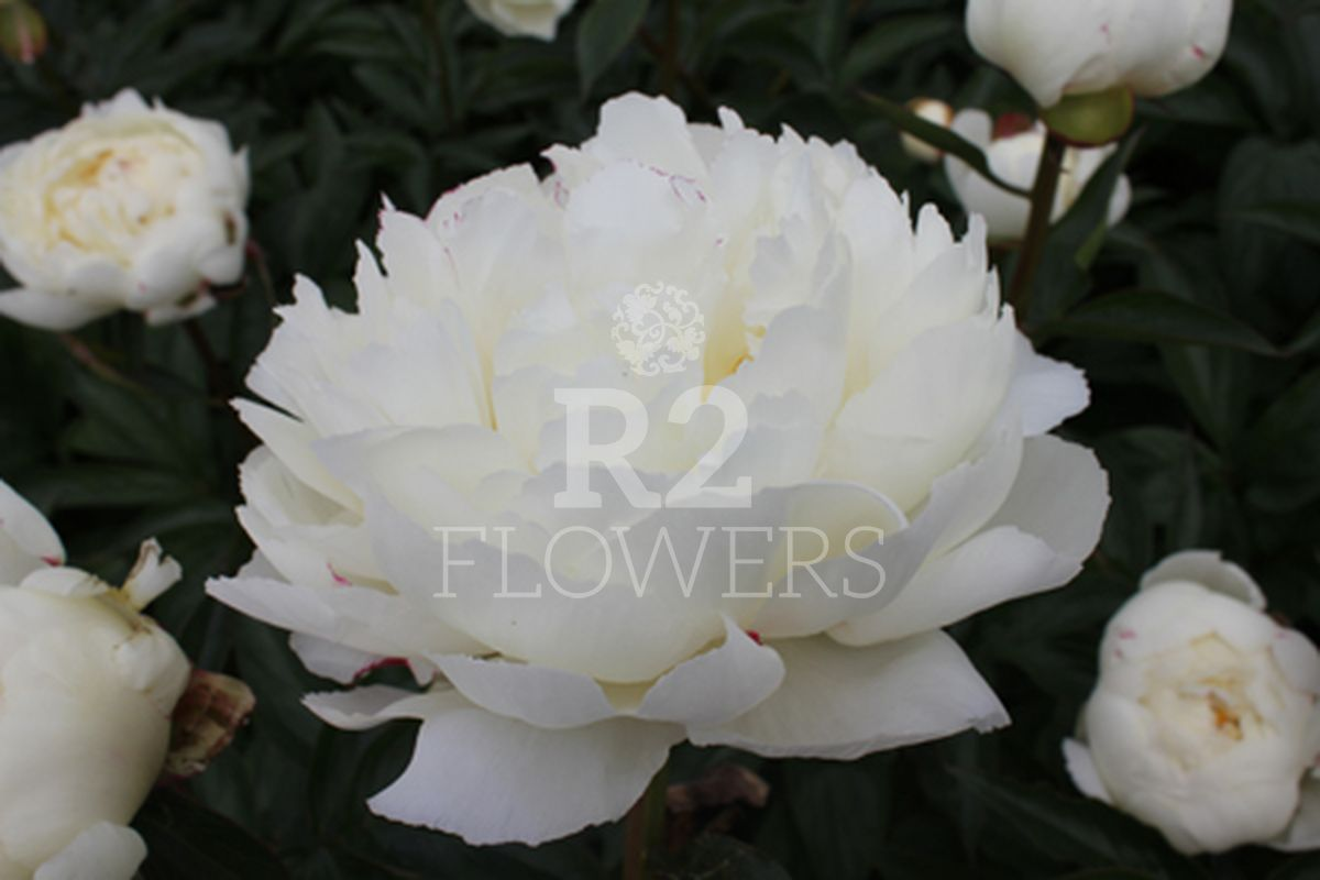 https://peonyshowgarden.com/wp-content/uploads/2020/03/Paeonia-Snow-Mountain-.jpg