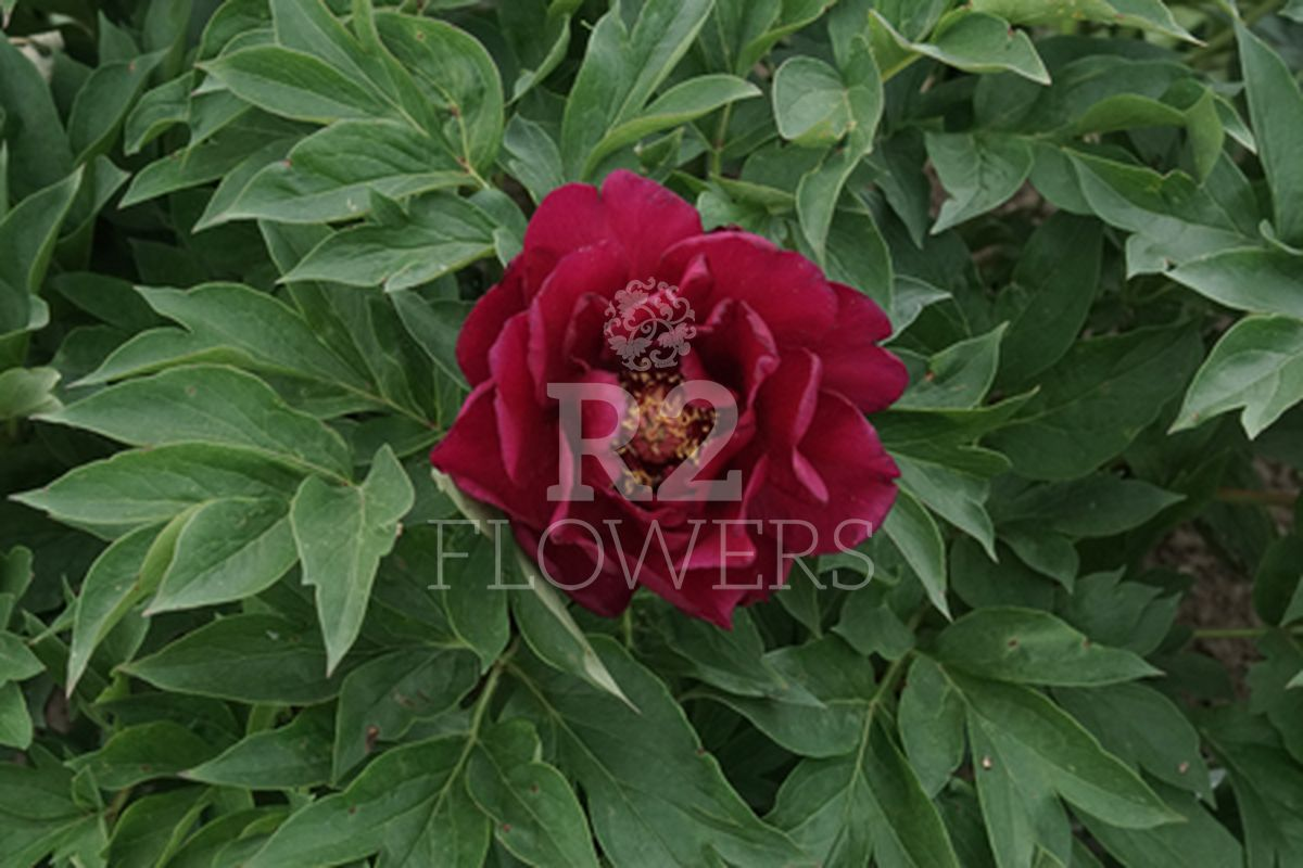 https://peonyshowgarden.com/wp-content/uploads/2020/03/Paeonia-Spectaculair-Flash-.jpg