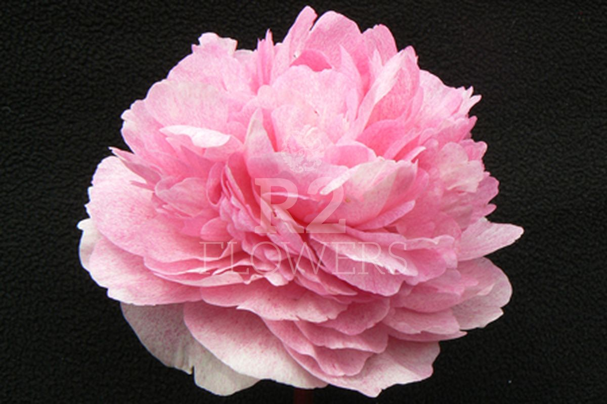 https://peonyshowgarden.com/wp-content/uploads/2020/03/Paeonia-The-Fawn-.jpg
