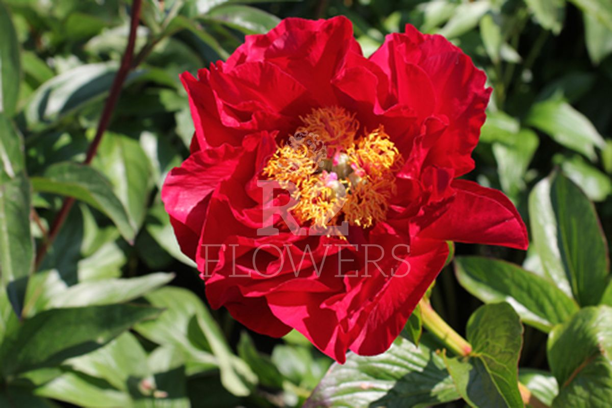 https://peonyshowgarden.com/wp-content/uploads/2020/03/Paeonia-The-Mackinac-Grand-.jpg