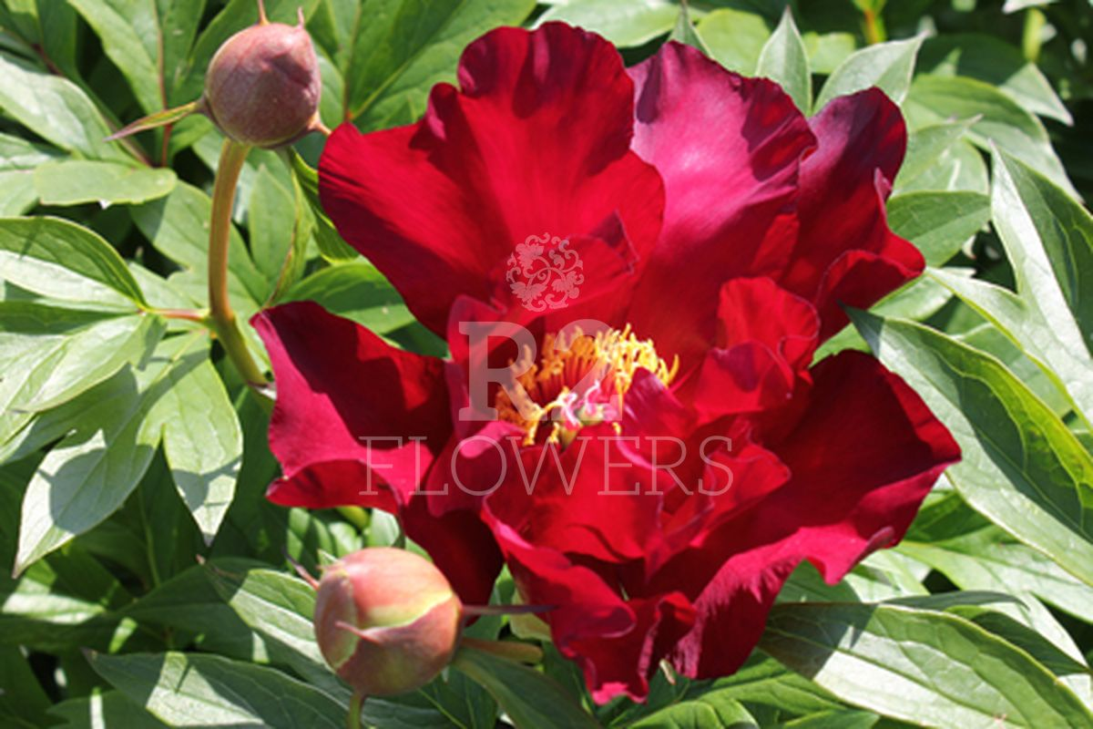 https://peonyshowgarden.com/wp-content/uploads/2020/03/Paeonia-Unique-.jpg