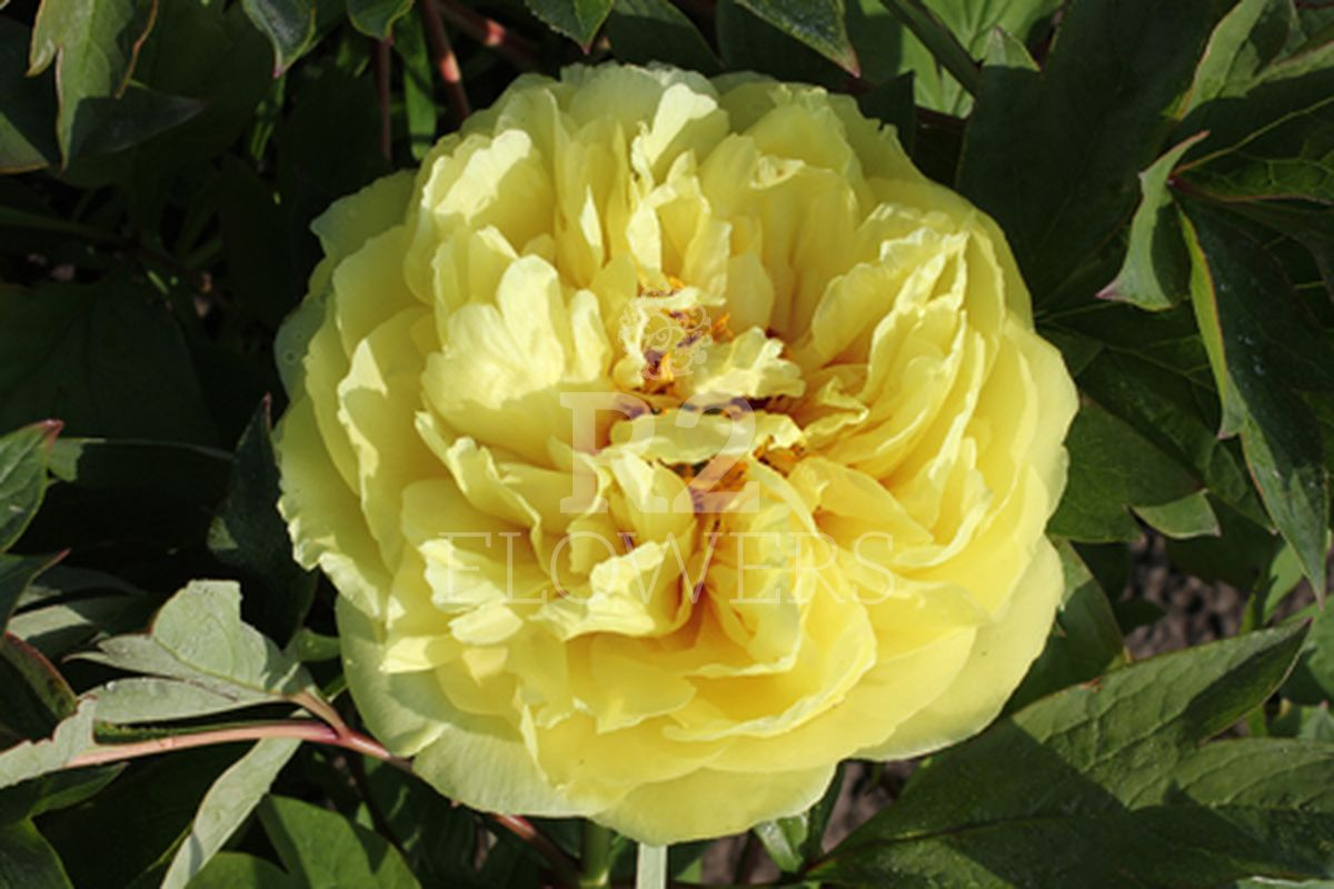 https://peonyshowgarden.com/wp-content/uploads/2020/03/Paeonia-Yellow-Crown-.jpg