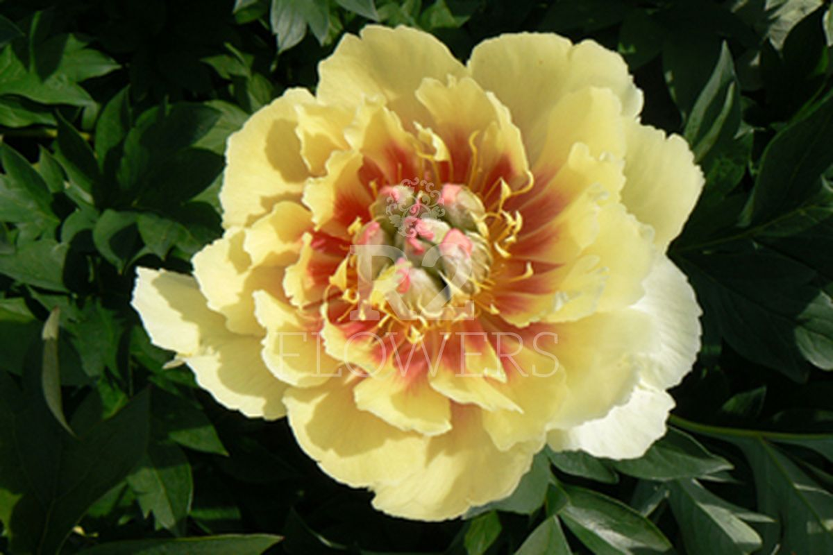 https://peonyshowgarden.com/wp-content/uploads/2020/03/Paeonia-Yellow-Heaven-.jpg